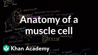 Anatomy of a skeletal muscle cell | Muscular-skeletal system physiology | NCLEX-RN | Khan Academy