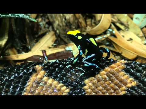 Poison Frog Jumps On Bushmaster Snake