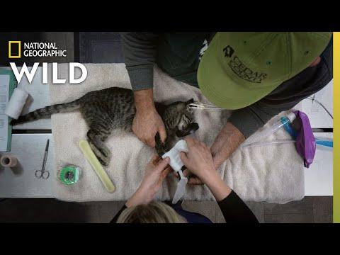 A Kitten Gets a Splint | Heartland Docs, DVM
