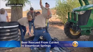 Bear Rescued From Culvert In Steamboat Springs
