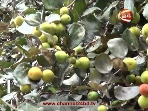 বরই বা কুল বা জুজুবার পুষ্টিগুণ