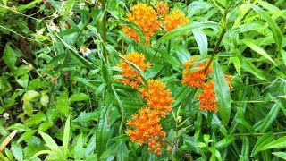 Butterfly weed seed collecting video