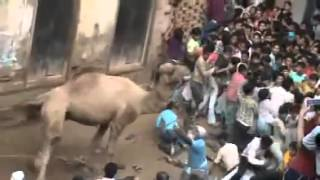 angry camel killed a boy before qurbani in India