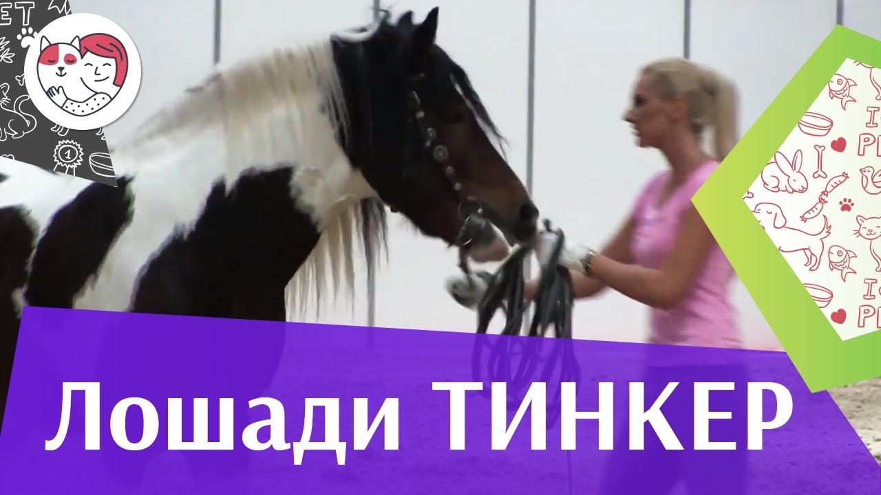 ЛОШАДИ  порода Тинкер  ЭКВИРОС 2016 на ilikepet