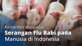 Flu Babi Janis Baru Berpotensi Menular ke Manusia, Kemenkes RI Lakukan Surveilans
