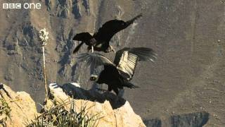 Condor Teaches Youngster to Fly (Narrated by David Tennant) - Earthflight - BBC One