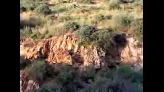 Arizona Mountain Lion and Javelina Surprise