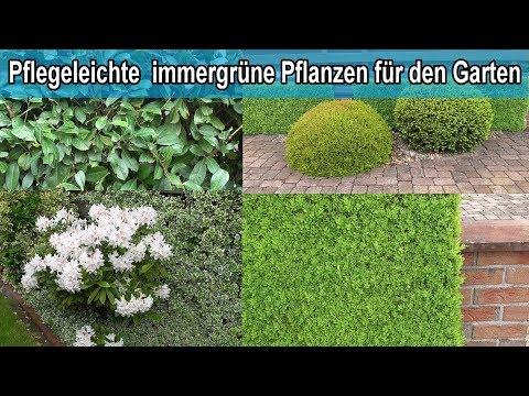 Immergrüne Hecken Pflanzen für den Garten / Winterharte grüne Hecke Sichtschutz Pflanze