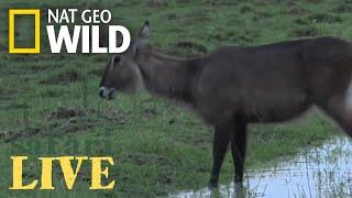 Safari Live - Day 49 | Nat Geo WILD