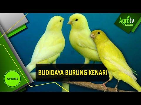 Video Budidaya Burung Kenari