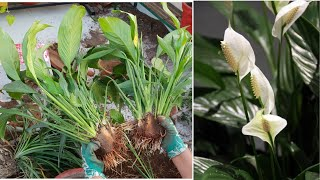 How To Divide Peace Lily Plant  Spathiphyllum || How To Separate Baby Plants From Peace Lily