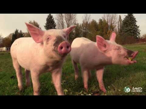 , title : 'Anni & Rosalie: Fröhlich schmatzende Schweine auf dem Lebenshof