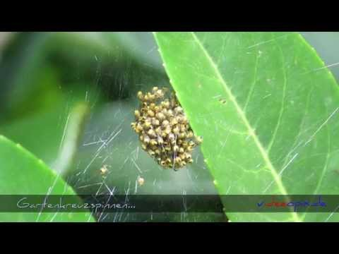 Gartenkreuzspinnennest