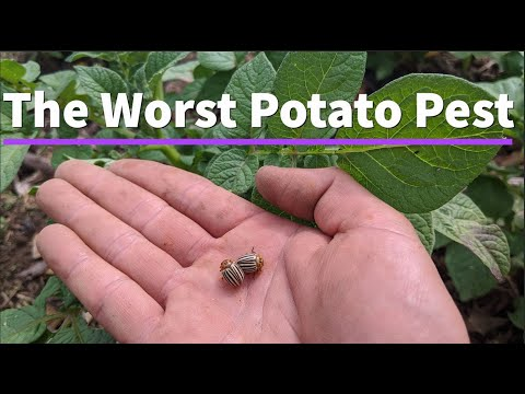 , title : 'How to Grow Potatoes and Eliminate Pests