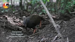NGGAK SALAH KASIH NAMA!! si Burung Gosong Kelam