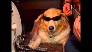 Dog playing Arctic Monkeys (Do I Wanna Know)