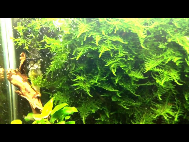 """Christmas moss"" shrimp tank 25G"
