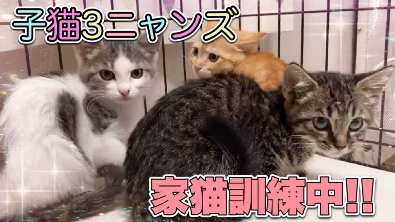 まだシャー!が抜けない子猫3匹キョウダイを保護して16日目の様子です【3 kittens】