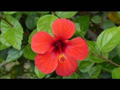 Hibiscus Rosa Sinensis In Delhi गडहल क फल