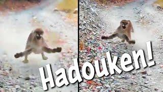 videos de risa  Encuentro peligroso con un puma