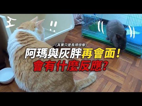 阿瑪MV幕後花絮 找了一隻和灰胖一樣像的兔子
