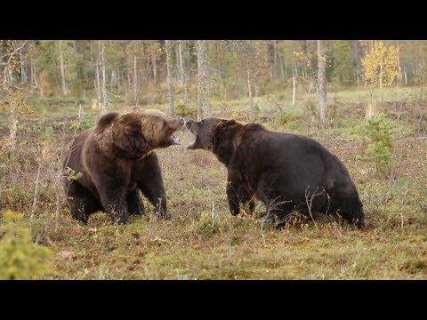 Дикая схватка бурых медведей