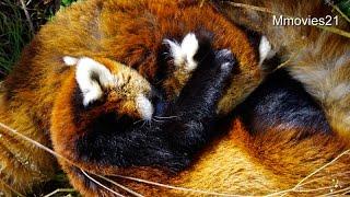 レッサーパンダの授乳~途中で眠くなるココ~NursingofRedPanda