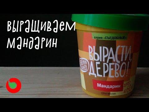 Как вырастить мандарин из косточки дома? Набор вырасти дерево
