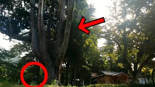 over 900 years old ! Giant cedar where gods dwell. Worshiping a rural shinto shrine of japan.