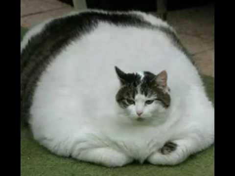 Песня жирный кот