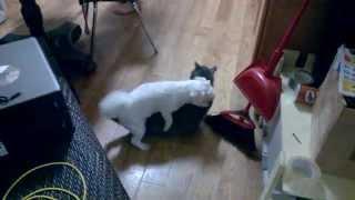 Dog humps cat hard then goes after ferret!