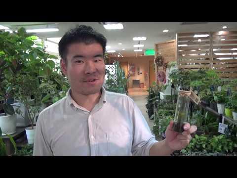 ホウライスギゴケ(苔)の日常管理・育て方・紹介