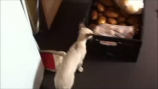 Jinx the Tabby Point Siamese (Color Point Shorthair) kitten