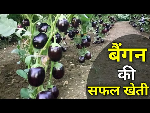 , title : 'Brinjal farming |Full Video| Eggplants farming and Cultivation (बैंगन)