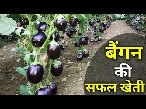 , title : 'Brinjal farming |Full Video| Eggplants farming and Cultivation (बैंगन)