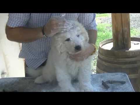 3.Tutorial: Pulizia e toeletta del cane da pastore  maremmano abruzzese