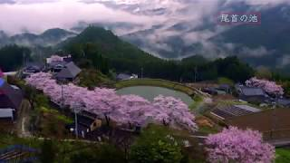 さくらの里 愛媛県内子町