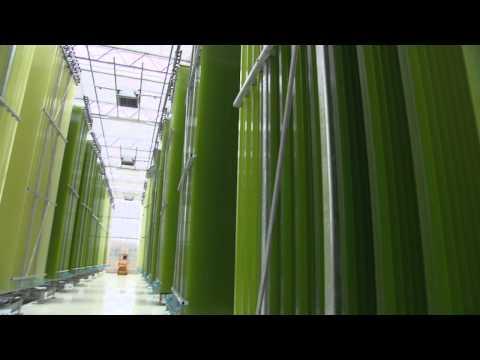 Algen liefern Öl und Bio-Treibstoff