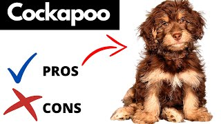 Cockapoo Pros And Cons | The Good AND The Bad!!