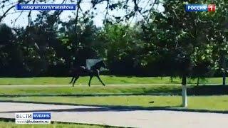 Сбежавшая с ипподрома лошадь восхитила краснодарцев своей грацией