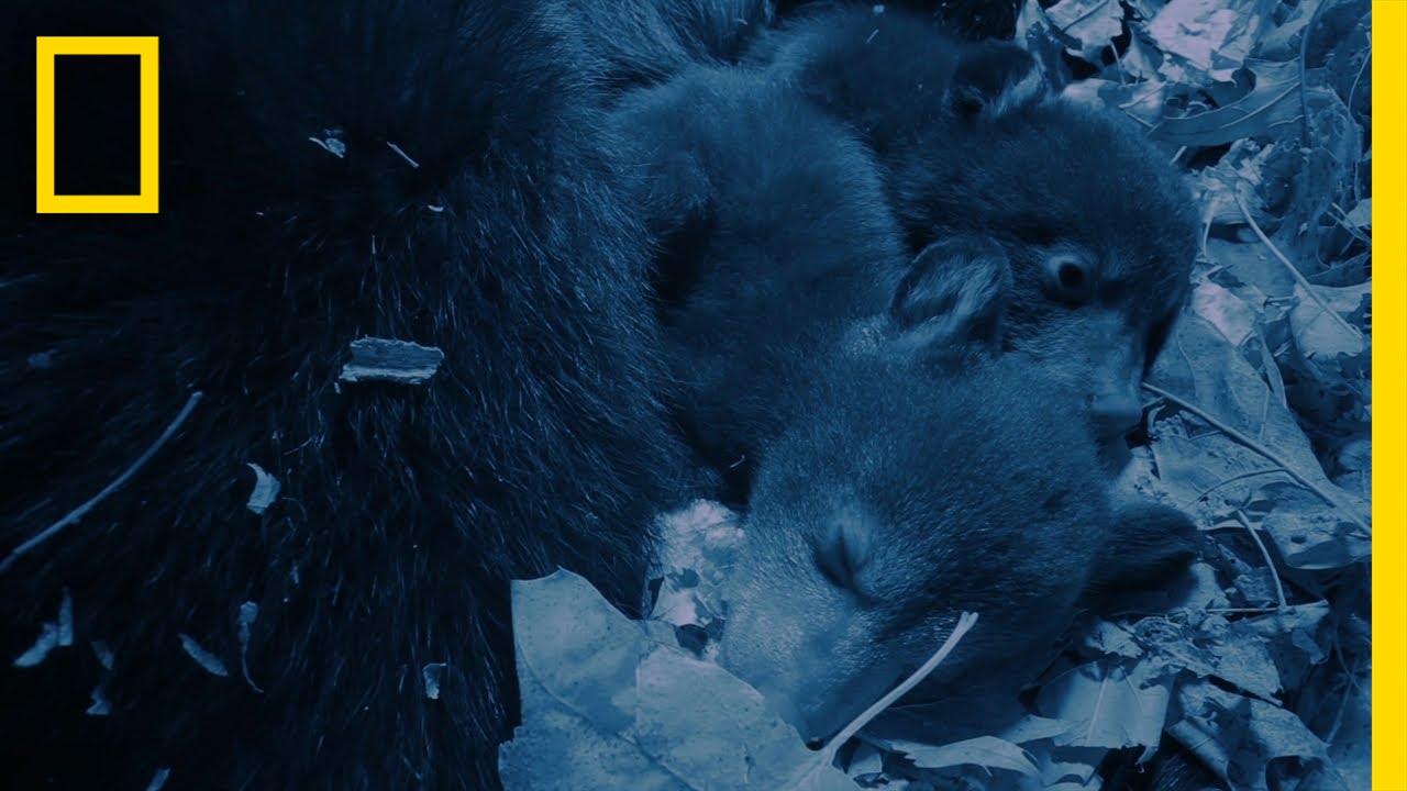 Sleepy Cubs | America's National Parks thumbnail