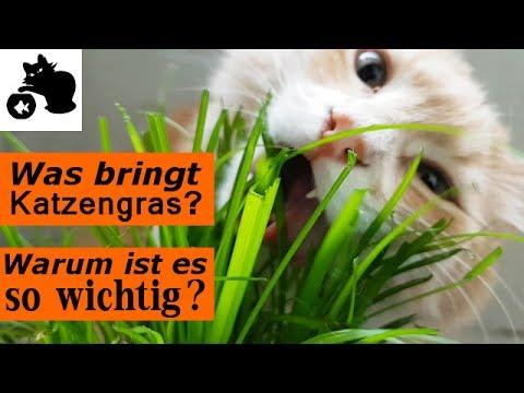 🔥Was bringt Katzengras? Wofür ist Katzengras gut? Katzengras Alternative / Missverständnisse klären