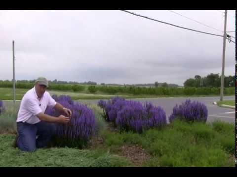 Best Perennials - Salvia Blue Hill (Meadow Sage)