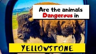Are the Yellowstone animals dangerous? | Yellowstone Travel Tips