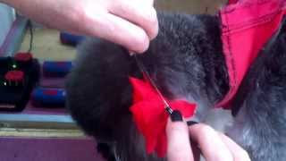 Attaching a Collar Flower to a dog's fur using silicone microbeads.