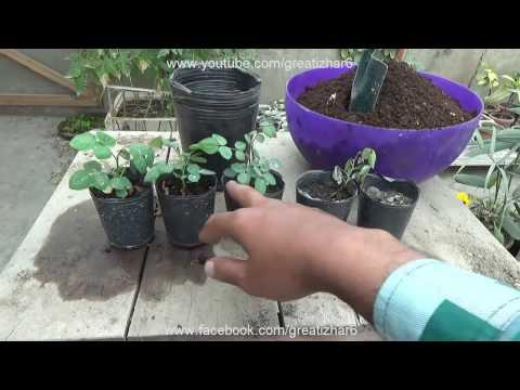 How To Grow Rose From Seeds Desi Rose Seedling To Transplant Result Of  Urdu Hindi