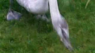 Feeding the swans in my garden
