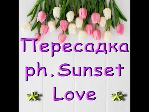 ОРХИДЕЯ ph.Sunset Love:ПЕРЕСАДКА.