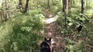работа собаки по следу 1