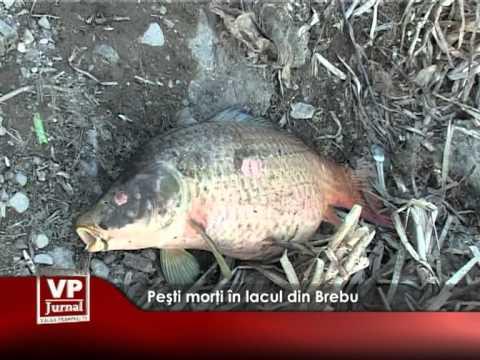 Zeci de peşti morţi în lacul din Brebu